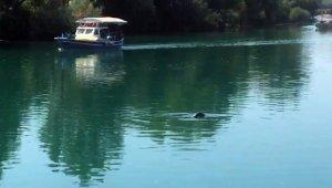 Mediterranean monk seals in the Manavgat river