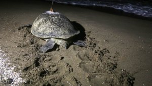 Sea turtle went from Turkey to Egypt in 48 days